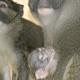 swamp monkey fort wayne