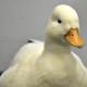 call duck fort wayne zoo