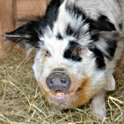 Elvis the kune kune pig square