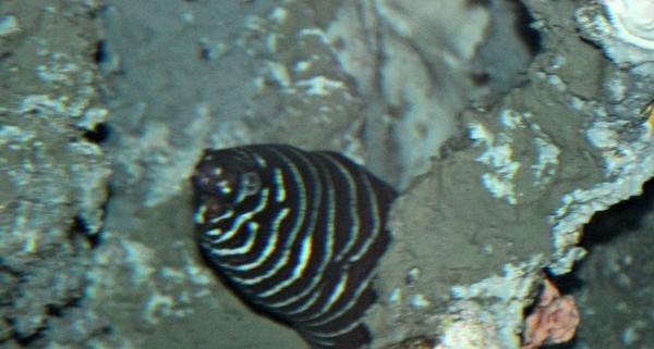 zebra moray eel fort wayne zoo