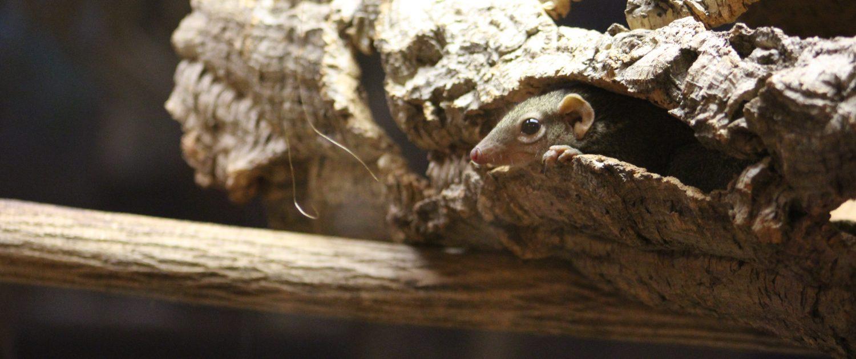 Northern tree shrew at Fort Wayne Children's Zoo
