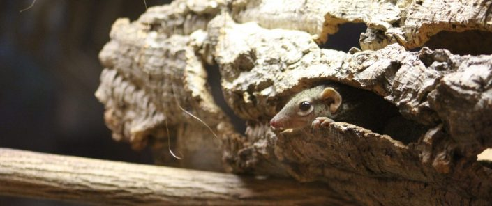Northern tree shrew at Fort Wayne Children's Zoo