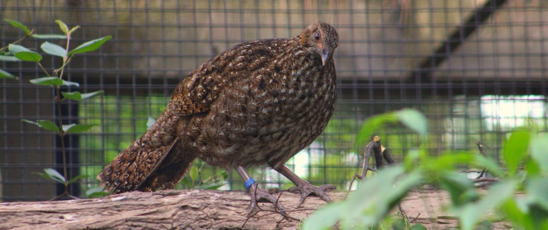 cabot's tragopan pheasant at Fort Wayne Children's Zoo