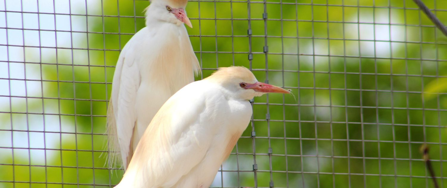 cattle egret at Fort Wayne Children's Zoo