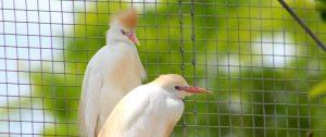 cattle egret at Fort Wayne Children's Zoo