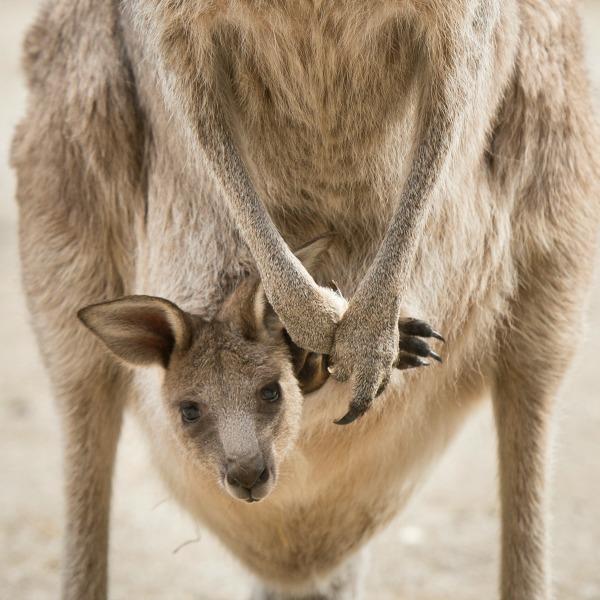 fort wayne zoo kangaroo
