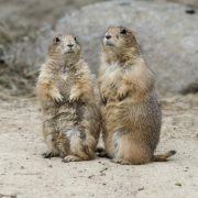 prairie dogs at Fort Wayne Children's Zoo