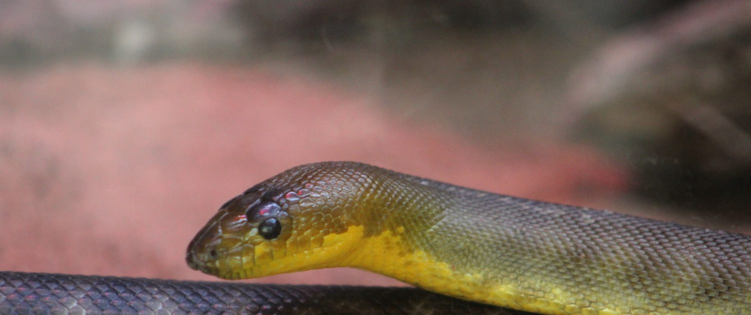 Woma Python at Fort Wayne Children's Zoo