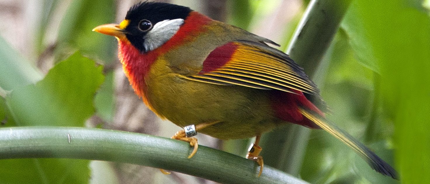 Silver-eared Messia at Fort Wayne Childrens Zoo