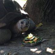 norbert_aldabra-tortoise