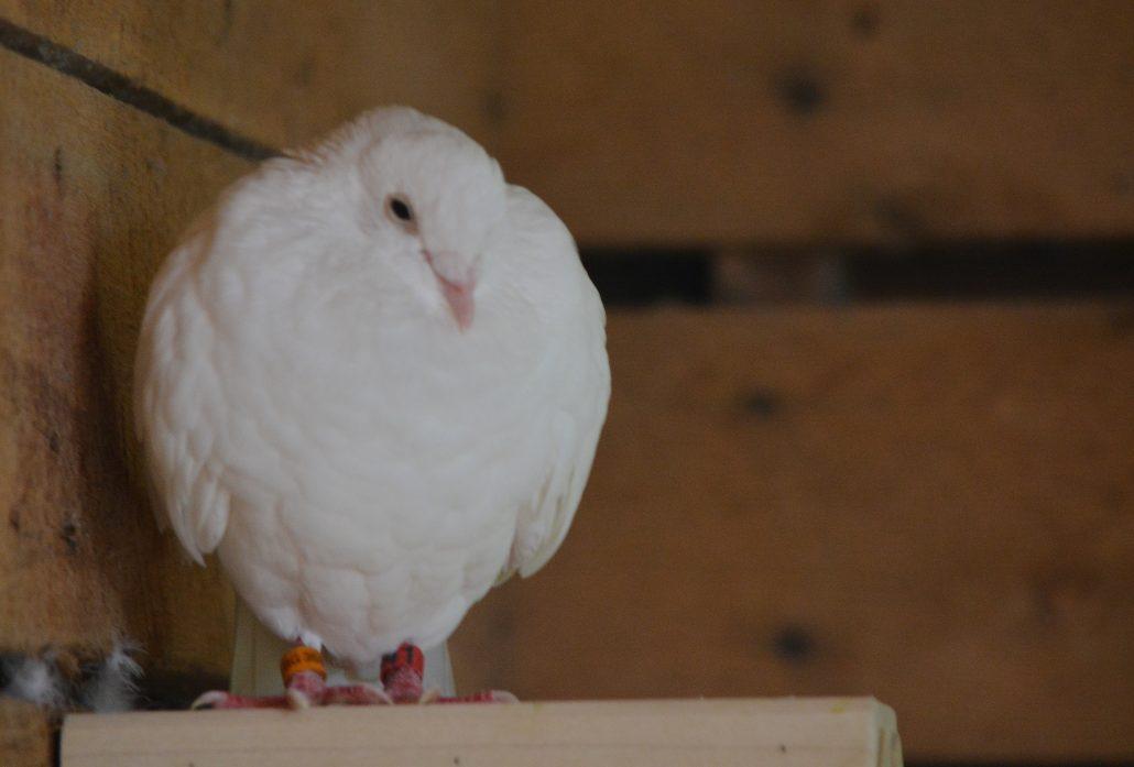 Fantail Pigeons