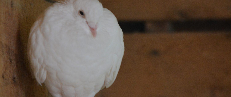 White Fantail Pigeion