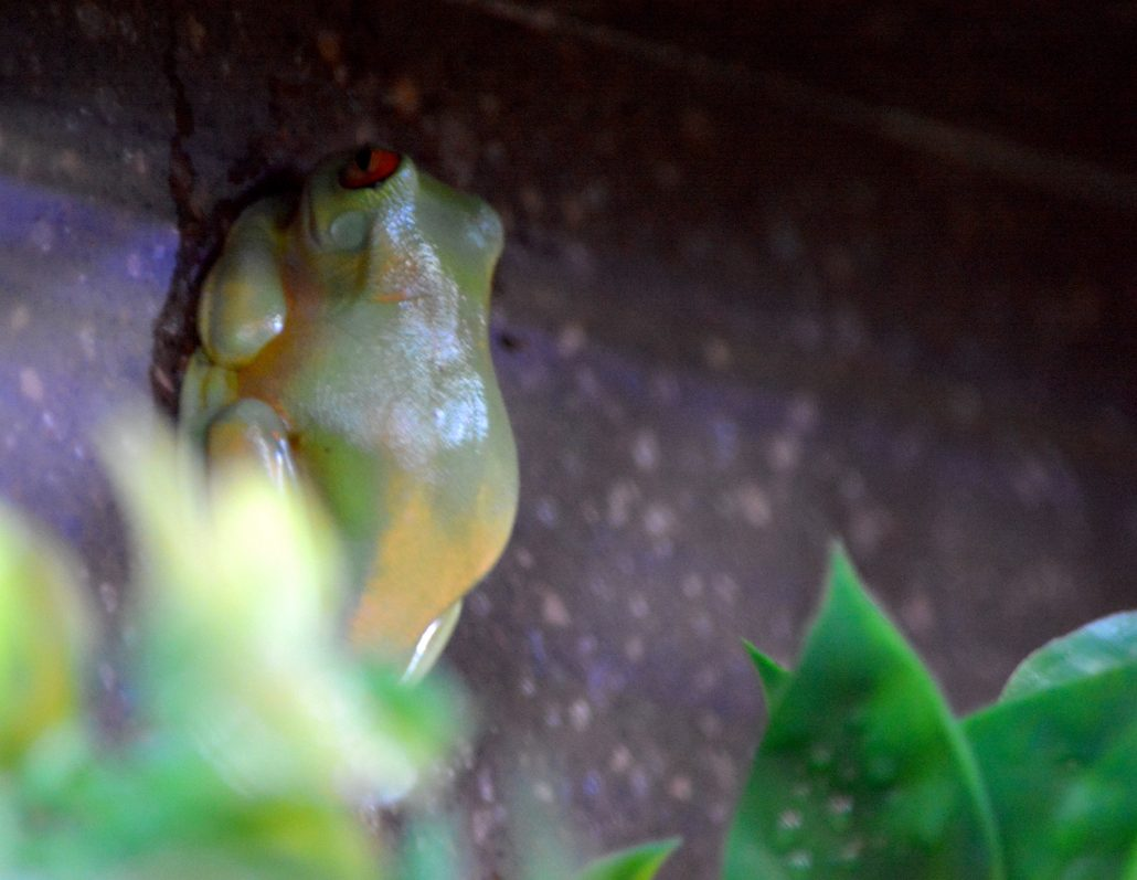 Orange-eyed Tree Frog