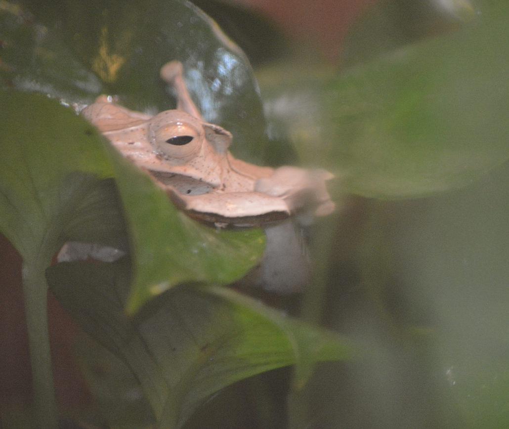 Boren-eared frog