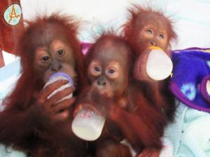 SOCP Three Babies