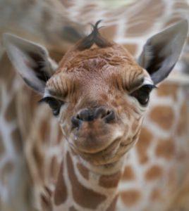 Giraffe Baby FWCZ 9 4 2020