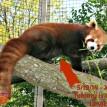 baby red panda Fort Wayne Children's Zoo
