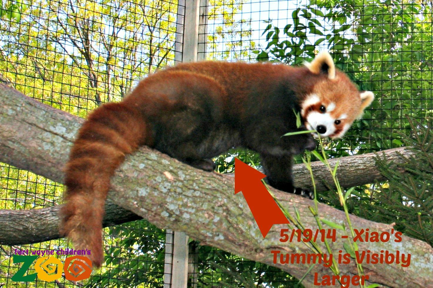 Fort Wayne Children S Zoo Baby Red Panda Fort Wayne Children S Zoo
