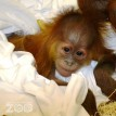 baby orangutan fort wayne childrens zoo