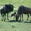 baby wildebeest zoo