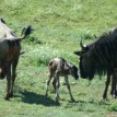 The wildebeest calf took its first steps on the zoo's African savannah.