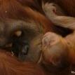 baby orangutan fort wayne zoo