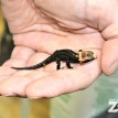 crocodile skink baby lizard zoo