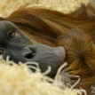 Tara the Orangutan cradles her 4-day-old baby - Fort Wayne Children's Zoo