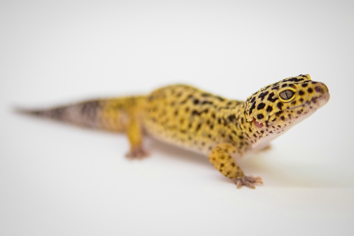 Leopard Gecko Fort Wayne Children's Zoo