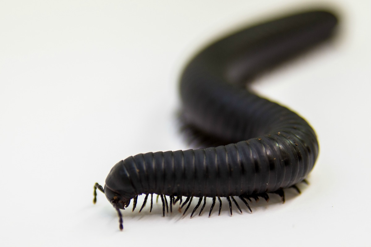 African millipede Fort Wayne Children's Zoo