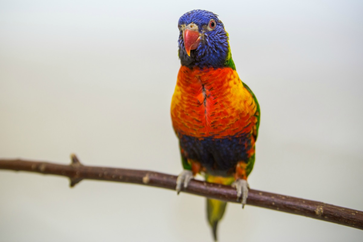 Rainbow lorikeet Fort Wayne Children's Zoo