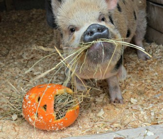 animal enrichment pig pumpkin