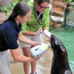 dental exam sea lion