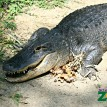 Alligators typically have between 75-80 teeth in their mouths.