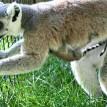 baby lemur fort wayne zoo