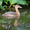 Javan Whistling Duck Gwen with Reflection