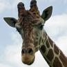 giraffe fort wayne zoo