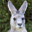 kangaroo zoo attraction