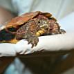 leaf turtle