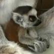 lemur baby zoo
