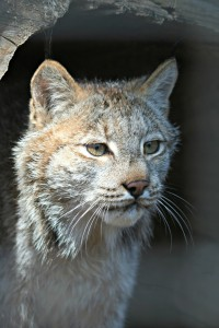 canadian lynx zoo attraction