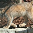 canada lynx zoo attraction