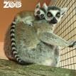 lemur baby fort wayne zoo