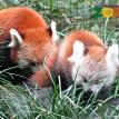 red panda cub