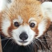 red panda fort wayne