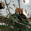red pandas fort wayne