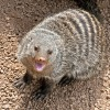 mongoose zoo attraction