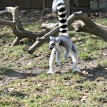 lemur zoo attraction