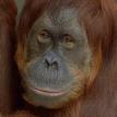 Fort Wayne Children's Zoo orangutan
