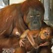 baby orangutan fort wayne childrens zoo